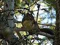 Douglas squirrel (Tamiasciurus douglasii) - sitting on branch.JPG