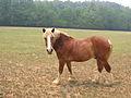 Draft Horse male.jpg