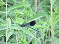 Dragonfly Resting Isar River Garching.jpg