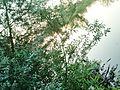 Drzewo nad brzegiem.jpg
