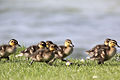 Ducklings - Grafham Water - April 2009 (3453886876).jpg