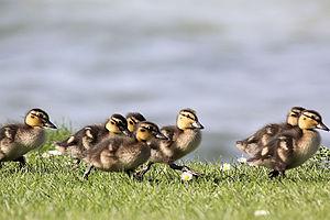 Grafham Water - Image: Ducklings Grafham Water April 2009 (3453886876)