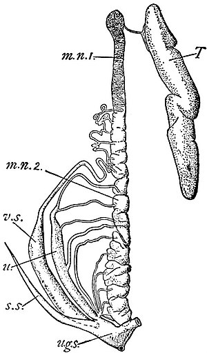 EB1911 Ichthyology - Urino-Genital Organs of the right side in a male Scyllium.jpg