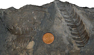 Mist Mountain Formation - Fossilized leaves of a cycadophyte (left) and a fern (right) from the Mist Mountain Formation at an open-pit coal mine near Sparwood.