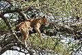 Eastern Serengeti 2012 06 01 3375 (7522720964).jpg
