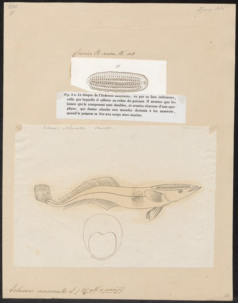File:Echeneis naucrates - 1700-1880 - Print - Iconographia Zoologica - Special Collections University of Amsterdam - UBA01 IZ13500264.tif