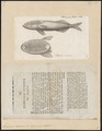 Echeneis remora - 1700-1880 - Print - Iconographia Zoologica - Special Collections University of Amsterdam - UBA01 IZ13500256.tif