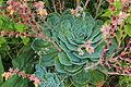 Echeveria Pumila (Stamm).jpg