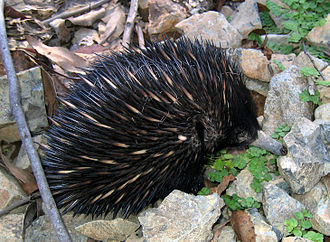 Barrington Tops National Park - An echidna on a walking trail