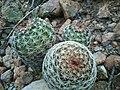 Echinocereus pamanesii bonatzii.jpg