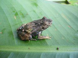 Edalorhina perezi Peru 01.jpg
