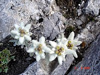Edelweiss under the Koncheto slope