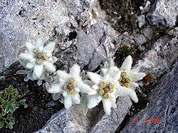 Едейлвайс - защитено високопланинско растение, емблема на българския туризъм