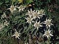 Edelweiss Hoefats.jpg