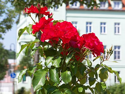 Eilenburg Nordring Rose.jpg
