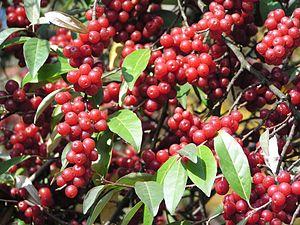 Elaeagnus umbellata - Ripe fruit
