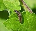 Elateridae - Flickr - gailhampshire (3).jpg