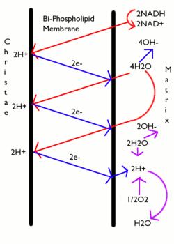 chemiosmotic theory