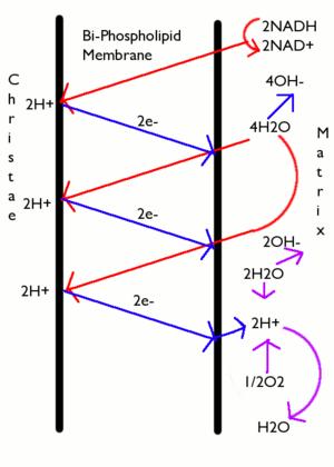 Chemiosmosis - A diagram of chemiosmotic phosphorylation