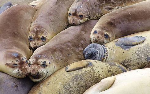 Elephant seal colony edit.jpg