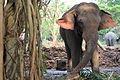 Elephants at Punnathoorkotta.JPG