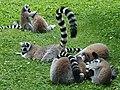 Em - Lemur catta - 19.jpg