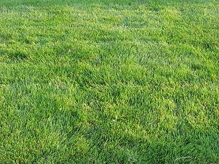 <i>Zoysia</i> Emerald Grass cultivar