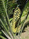 Encephalartos villosus 06.jpg