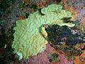 Encrusting colonial ascidian at Castle Rocks P7260926.JPG