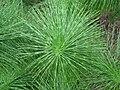 Equisetum telmateia (Riesen-Schachtelhalm).JPG