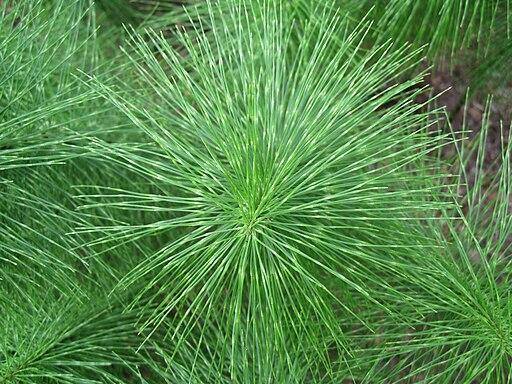 Equisetum telmateia (Riesen-Schachtelhalm)