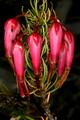Erica plukenetii 1DS-II 1-C3835.png