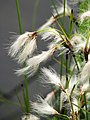 Eriophorum angustifolium Wełnianka wąskolistna 2010-05-15 02.jpg
