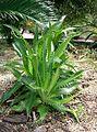 Eryngium agavifolium1.jpg