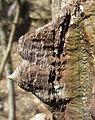 Erythrina - prickles on trunk (6458195459).jpg
