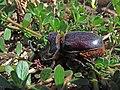 Escarabajo Rinoceronte -Oryctes nasicornis (14592851287).jpg