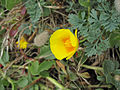 Eschscholzia californica (6062147643).jpg