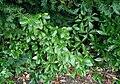 Euonymus-fortunei.JPG