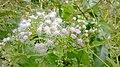 Eupatorium odoratum.jpg