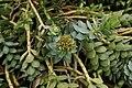 Euphorbia-myrsinites-flower-bud.jpg
