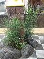 Euphorbia tirucalli @ Tirur.jpg