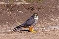 Eurasian Hobby (14574008925) (cropped).jpg