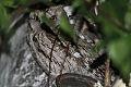 Eurasian Scops Owl (Otus scops) (8079442507).jpg