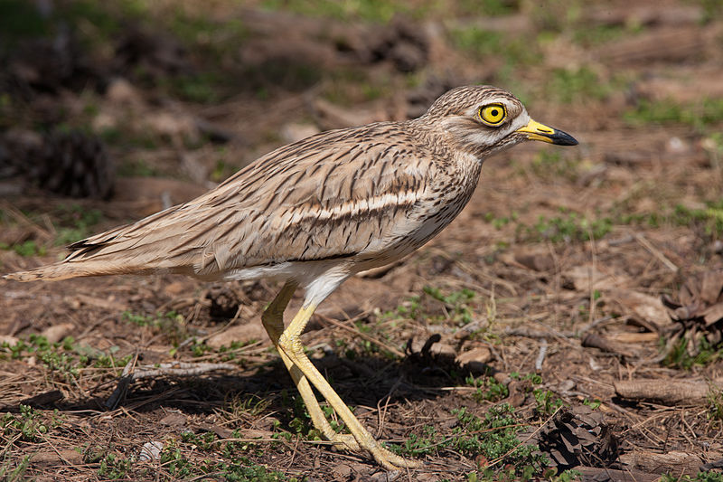 File:Eurasian stone curlew.jpg