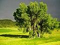 Evening Storm (Tree) - Fort Collins, Colorado - Flickr - gregor y.jpg