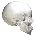 External occipital protuberance - lateral view.png