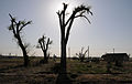 FEMA - 35044 - Trees with new leaves at a Kansas tornado site.jpg