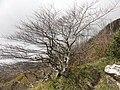 Faggio bonsai - panoramio.jpg