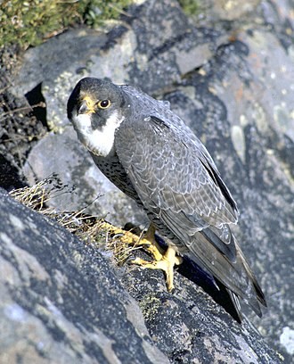 Pigeon racing - The peregrine falcon is a major predator of racing pigeons.