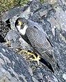 Falco peregrinus nest USFWS free.jpg